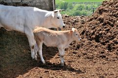 Cow and calf. White cow and light brown calf on the Farm Business Stock Image