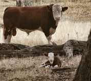 Cow and Calf stock photos