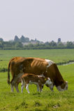 Cow with calve Stock Photography
