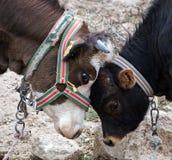 Cow calve Royalty Free Stock Photos