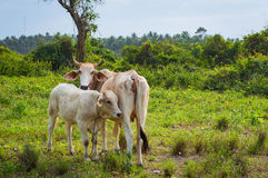Cow and calve grazing on a green meadow in sunny day. Farm animals. Royalty Free Stock Images