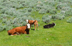 Cow With Calves. Resting mother cow with calf and another baby Royalty Free Stock Photos