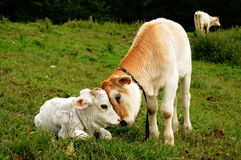Cow calves Royalty Free Stock Photography
