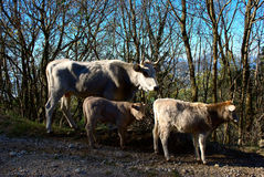 Cow with Calves Brousing in a Spring Forest. A cow with two calves brousing in the forest in the wild. The cows are free in the mountains and do not need the Royalty Free Stock Photo