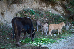 Cow with Calves Brousing Wild in the Mountains Royalty Free Stock Photography