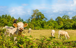 Cow with calves Royalty Free Stock Photography