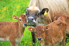 Cow and Calves in a field Stock Image