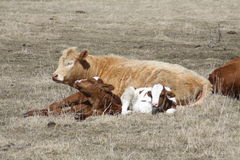 Cow and Calves Laying Down Royalty Free Stock Photo