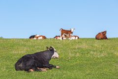Cow and calves resting on a meadow Stock Photos