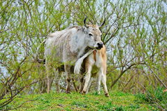 Cow calves Royalty Free Stock Images