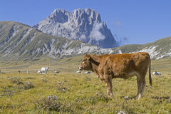 Cow on the Campo Imperatoren den Abruzzen Royalty Free Stock Photography