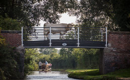 Cow on a canal tow path bridge, with holiday makers on a narrow Stock Photography