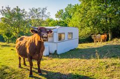 Cow in a caravan camping. A cow mooing close to a caravan in a camping at the farm stock image