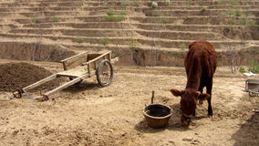 Cow with cart in desert village. Stock Photography