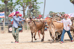 Cow cart racing festival in Thailand Stock Photography