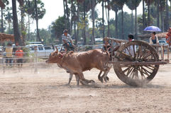 Cow cart racing festival in Thailand Stock Photo