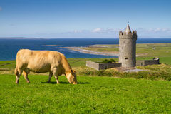 Cow at the castle - Ireland. Doonagore castle with Irish cow near Doolin - Ireland Stock Photo