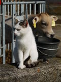 Cow and cat Royalty Free Stock Images