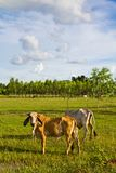 Cow cattle Royalty Free Stock Photos