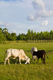 Cow Cattle Stock Image