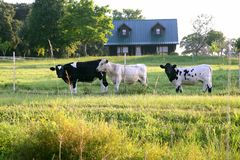 Cow cattle on american green grass Stock Image