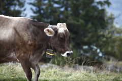Cow cattle drive in the Alps Stock Photography
