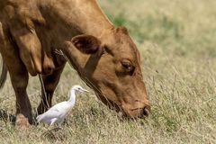 Cow with cattle egret in Texas stock photography