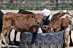 Cow, Cattle, Farm, Animal, Beef Stock Images
