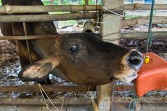 Cow in a cattle farm at Thailand. Cow in a cattle farm at Thailand royalty free stock images