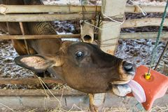 Cow in a cattle farm at Thailand. Cow in a cattle farm at Thailand royalty free stock photography