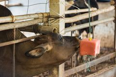 Cow in a cattle farm at Thailand. Cow in a cattle farm at Thailand stock photo