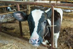 Cow in a cattle farm at Thailand. Cow in a cattle farm at Thailand stock image