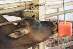 Cow in a cattle farm at Thailand. Cow in a cattle farm at Thailand stock images