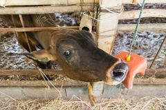 Cow in a cattle farm at Thailand. Cow in a cattle farm at Thailand royalty free stock photo