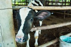 Cow in a cattle farm at Thailand. Cow in a cattle farm at Thailand royalty free stock image