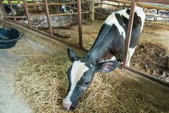 Cow in a cattle farm at Thailand. Cow in a cattle farm at Thailand stock photos