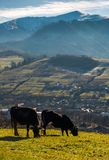 Cow cattle grazing on a hillside. Beautiful countryside scenery in mountainous area with snowy peaks Royalty Free Stock Images