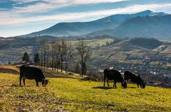 Cow cattle grazing on a hillside. Beautiful countryside scenery in mountainous area with snowy peaks stock image