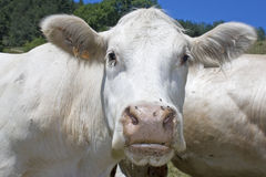 Cow,cattle, livestock. Stock Photography