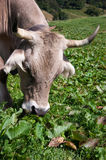 Cow. And cattle in mountain meadow Royalty Free Stock Photos