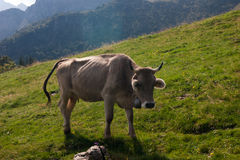Cow. And cattle in mountain meadow Stock Photography