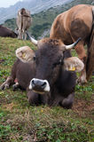 Cow. And cattle in mountain meadow Royalty Free Stock Image