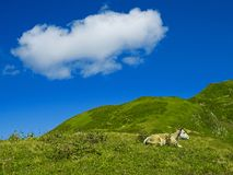 Cow in the Caucasus Mountains. Cow in an alpine meadow in the Caucasian mountains Royalty Free Stock Image