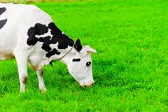Cow on the chain chews grass Stock Photo