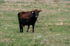 Cow on chain in field Royalty Free Stock Image
