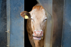 Cow checks weather outside. White brown cow sticks it's head out the curtain to check the weather Stock Photo