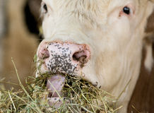 Cow chew. Cattle take a bite and chew alfalfa hay Royalty Free Stock Photo
