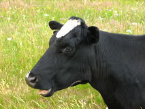 Black cow chewing Stock Photos