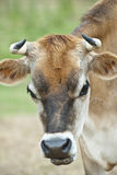 Cow chewing cud Royalty Free Stock Photo