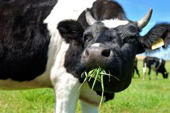 Cow chewing grass Royalty Free Stock Photos